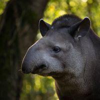 Tapir terrestre