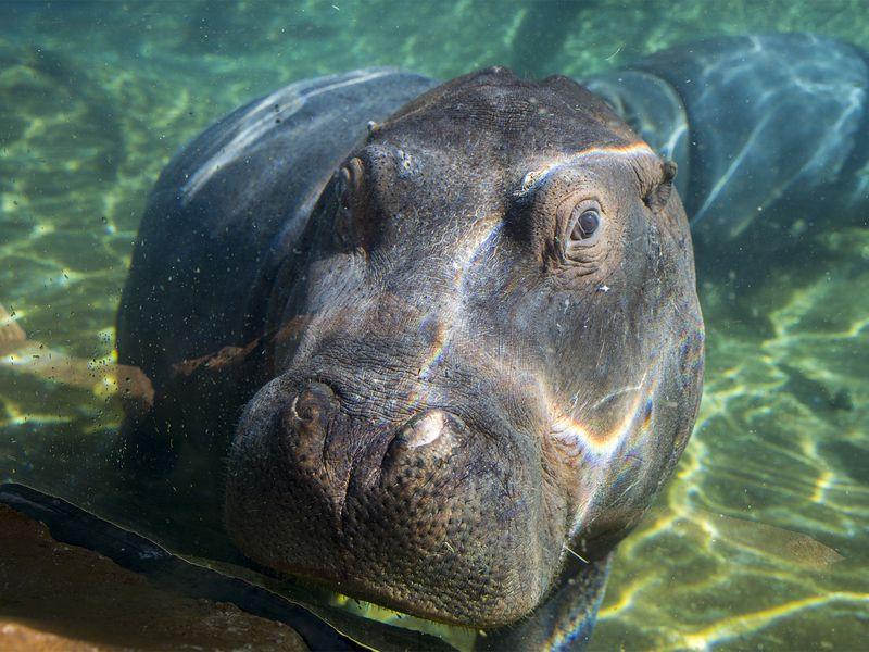 Hippopotame sous l'eau - Beauval Nature - ZooParc de Beauval
