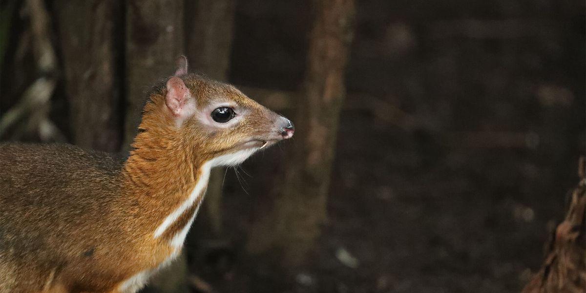 Cerf-souris - Les animaux de La Serre Tropicale des Oiseaux - ZooParc de Beauval