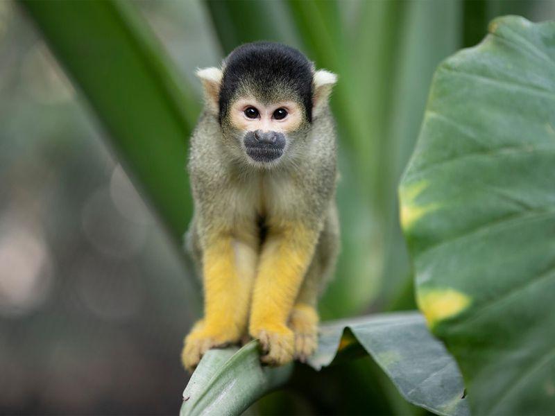 Saïmiri - Les animaux extraordinaires du Dôme Équatorial - ZooParc de Beauval