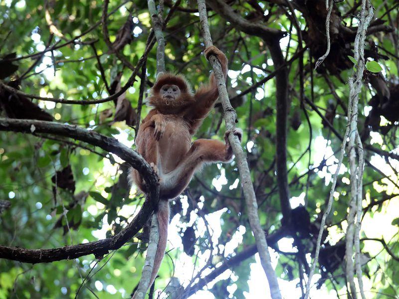 Langur de Java - Beauval Nature - Les animaux de La Plaine Asiatique - ZooParc de Beauval