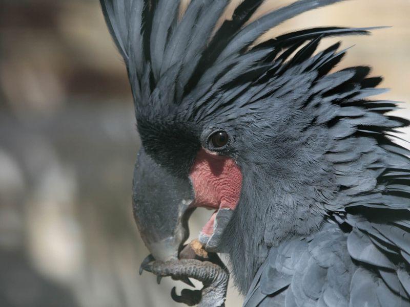Microglosse ou cacatoès noir - Les animaux de La Rotonde des Perroquets - ZooParc de Beauval