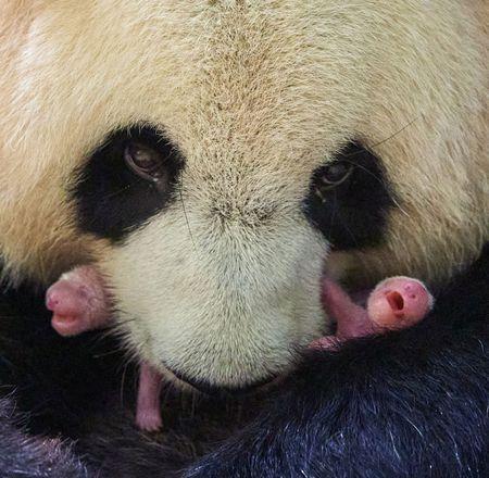 Naissance jumelles panda - ZooParc de Beauval