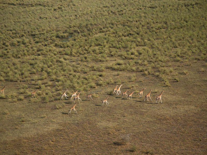 Girafes dans la nature - ©Colin Bell - Beauval Nature - ZooParc de Beauval