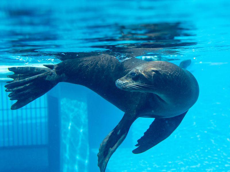 Otarie - Animaux extraordinaires du ZooParc