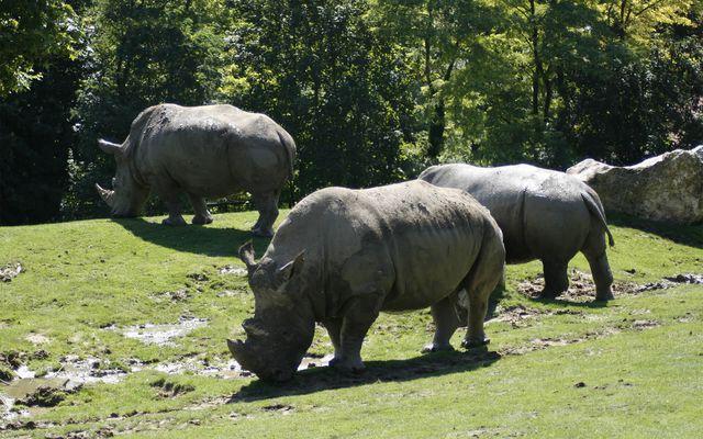 Rhinocéros blancs - L'histoire du ZooParc