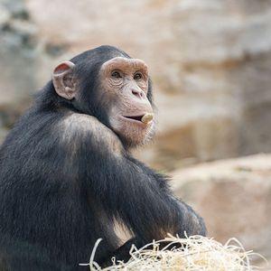 La Serre des Chimpanzés et Orangs-outans