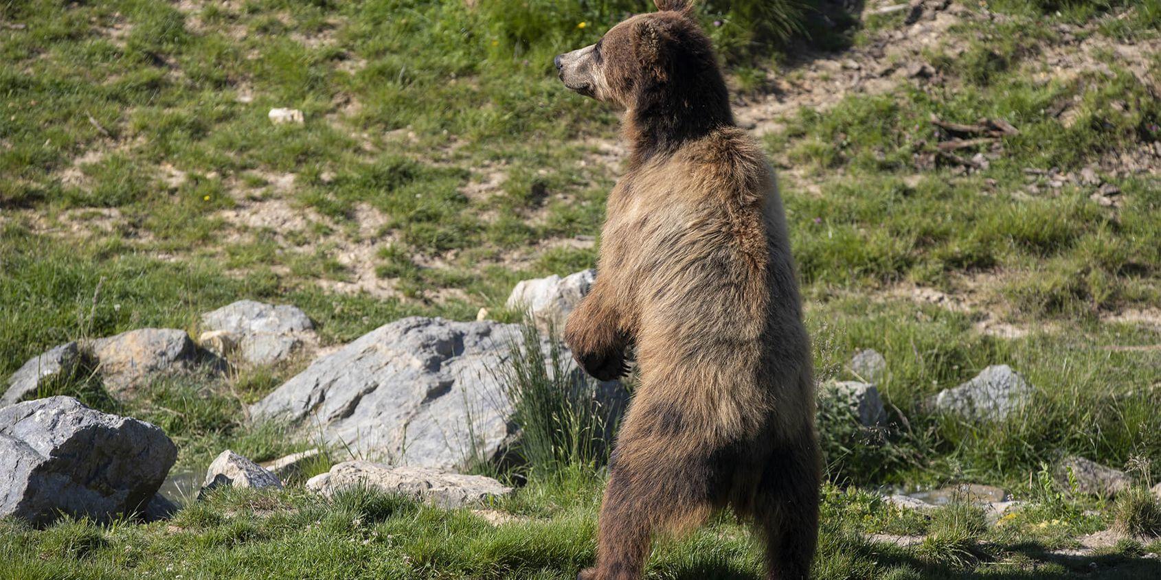 Ours brun se tenant debout - Les animaux du Territoire Nord-Américain - ZooParc de Beauval