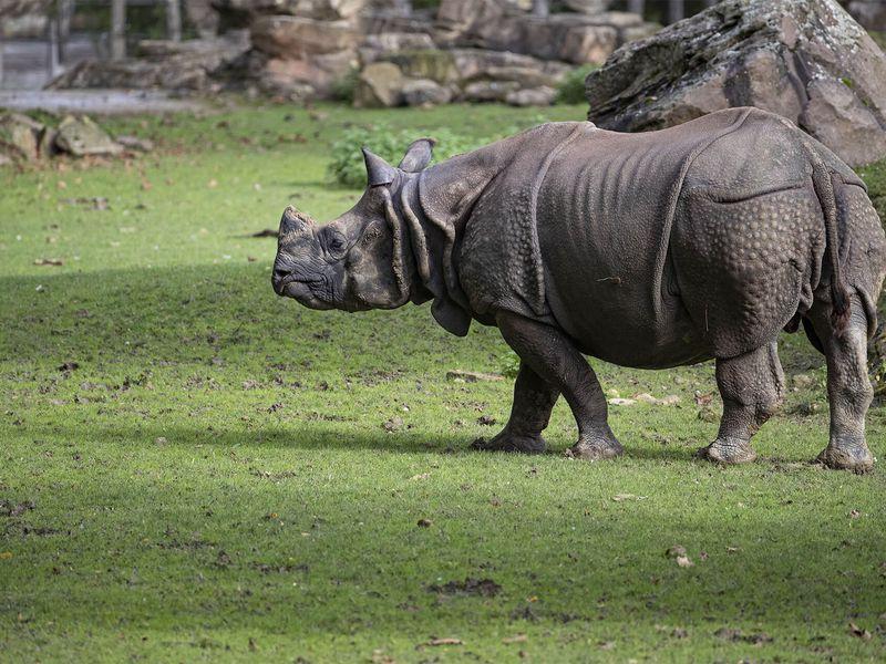 Profil rhinocéros indien - Les animaux de La Plaine Asiatique - ZooParc de Beauval