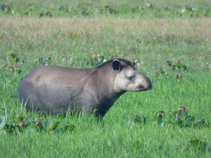Tapir terrestre dans la nature
