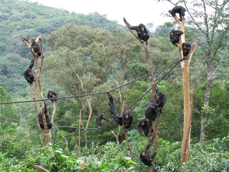 Chimpanzés dans la nature
