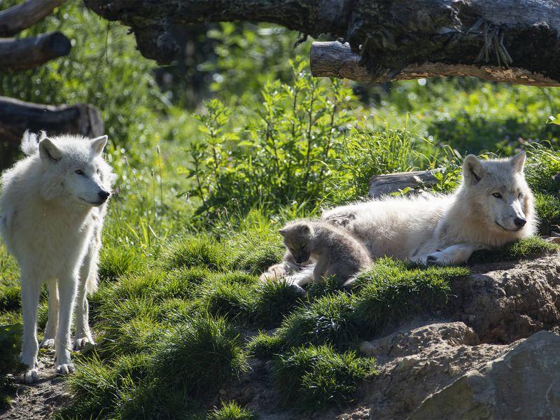 Loups arctiques et son bébé - Les animaux du Territoire Nord-Américain - ZooParc de Beauval