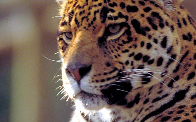 Jaguar - L'histoire du ZooParc