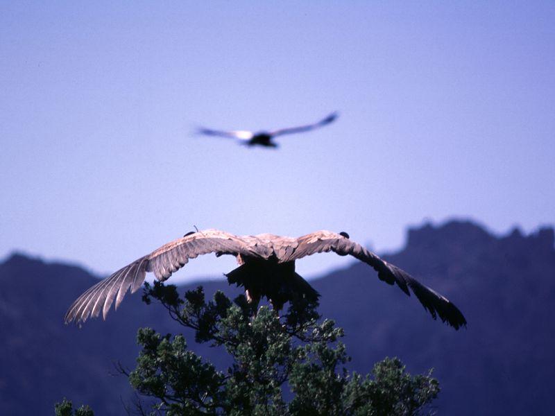 Condor des Andes - Beauval Nature - Spectacle d'oiseaux - Les Maîtres des Airs