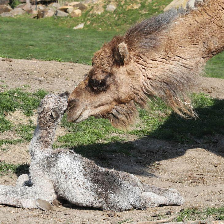 Protection de la biodiversité - Bébé dromadaire et son parent - ZooParc de Beauval
