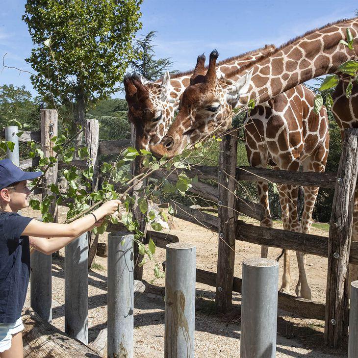 Nourrir les girafes - Activité junior Zoo'Camp - ZooParc de Beauval