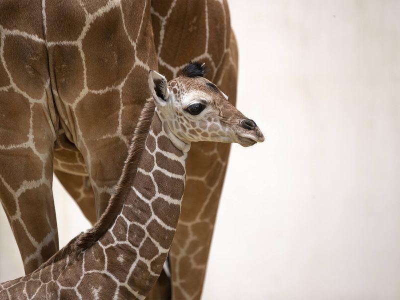 Kimia, notre bébé girafe - Les animaux de La Savane Africaine - ZooParc de Beauval
