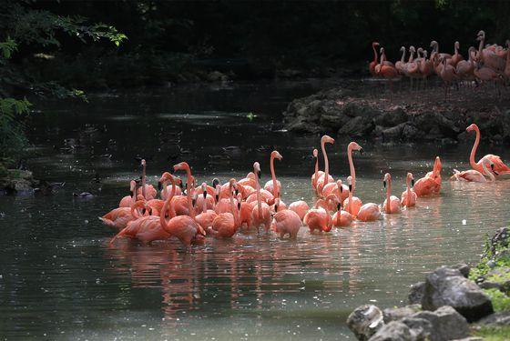 Espace flamants roses - Les animaux de L'Allée Historique - ZooParc de Beauval
