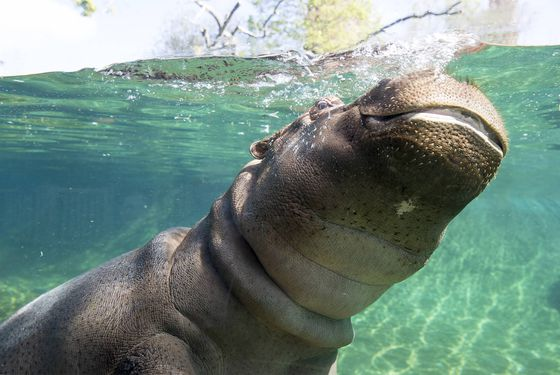 Au plus proche des hippopotames - Activités familiales - ZooParc de Beauval