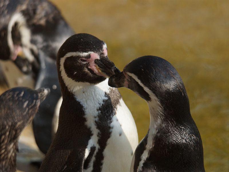 Groupe manchots de Humboldt - Les animaux de L'Allée Historique - ZooParc de Beauval