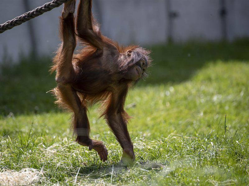Utilisation des bras chez l'orang-outan - Les animaux de La Serre des Chimpanzés et Orangs-outans - ZooParc de Beauval