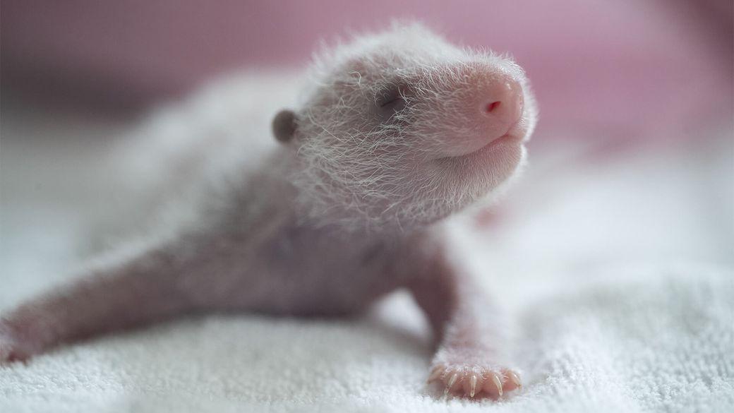 Jumelles panda ont 1 semaine - Bébé panda - ZooParc de Beauval