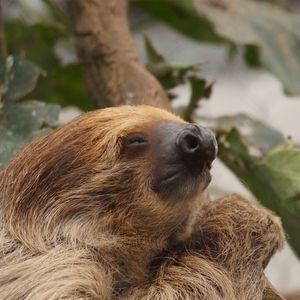 Paresseux à deux doigts - Animaux extraordinaires du ZooParc