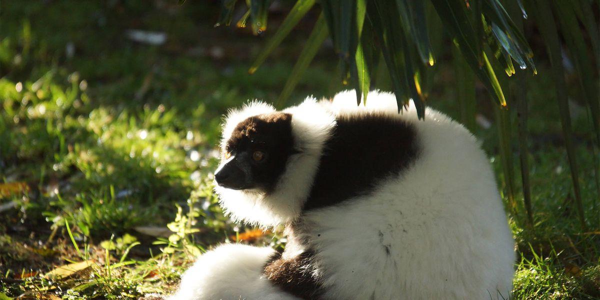 Vari noir et blanc - Les animaux de L'Allée Historique - ZooParc de Beauval