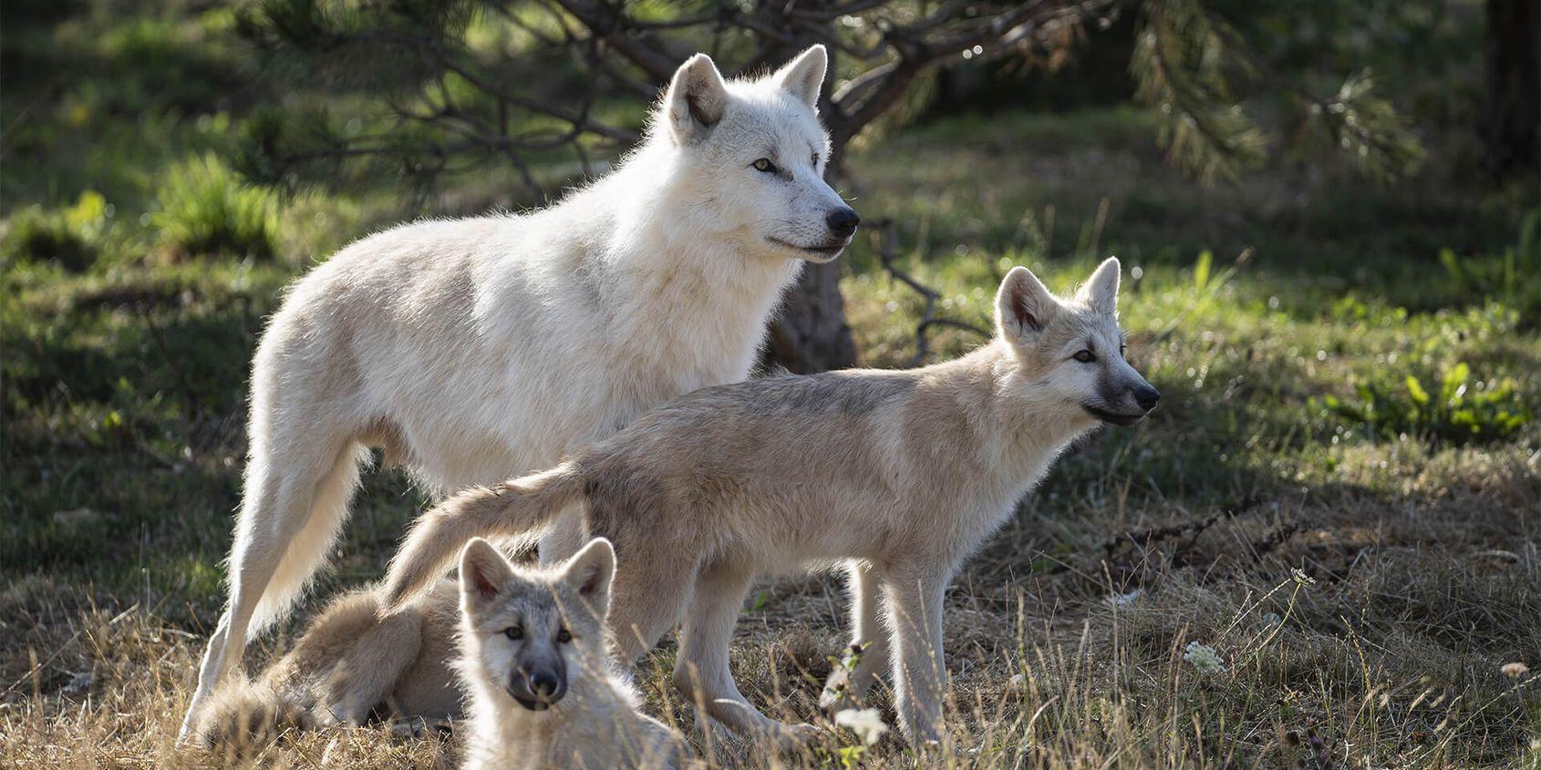 Loup arctique et ses bébés - Les animaux du Territoire Nord-Américain - ZooParc de Beauval