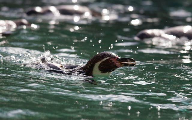 Manchot de Humboldt - L'histoire du ZooParc