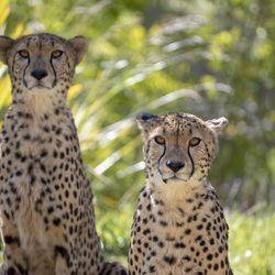 Le territoire des guépards