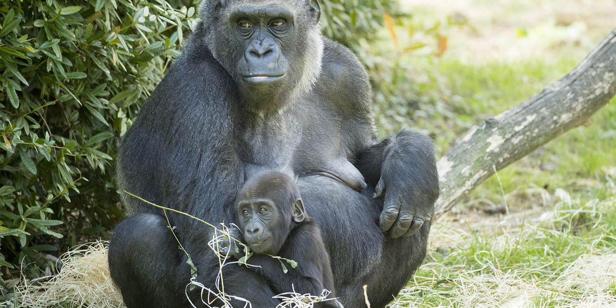 Gorille des plaines de l'Ouest et son bébé - Les animaux de La Serre des Gorilles - ZooParc de Beauval