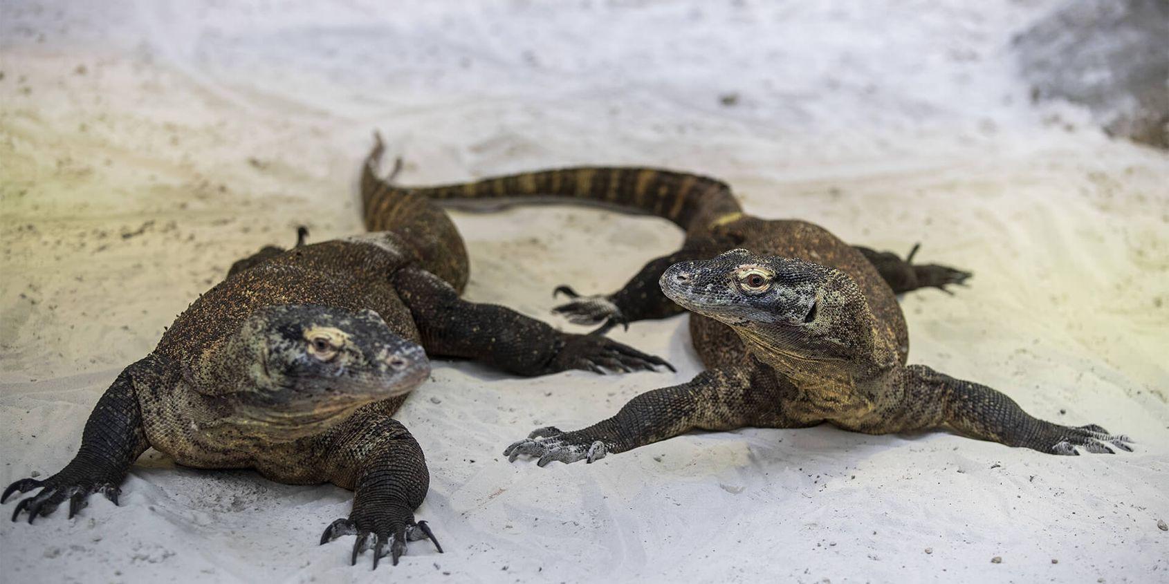Varan ou dragon de Komodo - Les animaux du Vivarium et Aquarium - ZooParc de Beauval