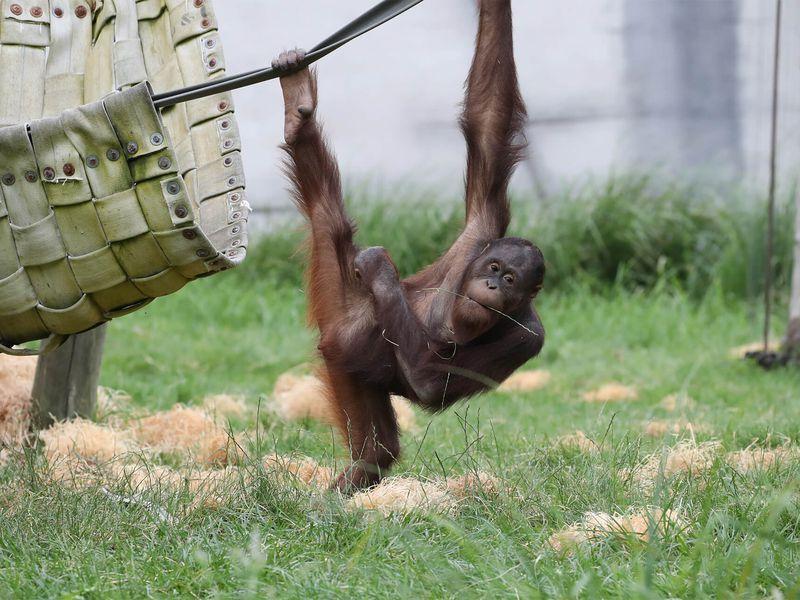Les grands bras de l'orang-outan - Les animaux de La Serre des Chimpanzés et Orangs-outans - ZooParc de Beauval