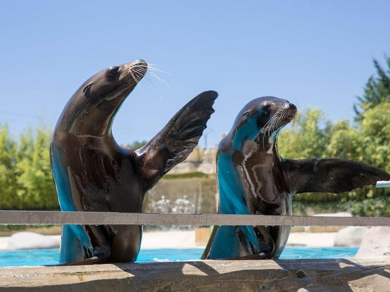 Spectacle d'otaries - L'Odyssée des Lions de Mer - Venez visiter les animaux du ZooParc de Beauval