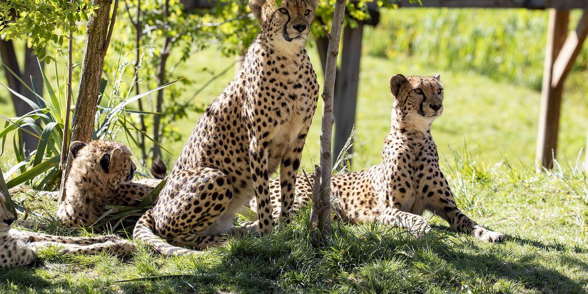 Groupe de guépards - Les animaux du Territoire des Guépards - ZooParc de Beauval