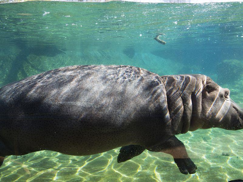 Hippopotame en plongée - Les animaux de La Réserve des Hippopotames - ZooParc de Beauval