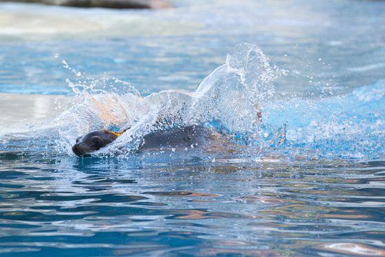 Otarie qui nage - Spectacle - L'Odyssée des Lions de Mer