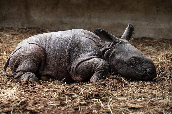 Une nouvelle naissance de rhinocéros