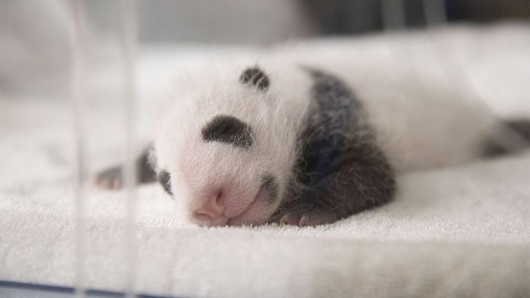 Jumelles panda ont 3 semaines - Bébé panda - ZooParc de Beauval