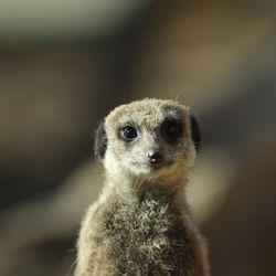 Suricate - Animaux extraordinaires du ZooParc
