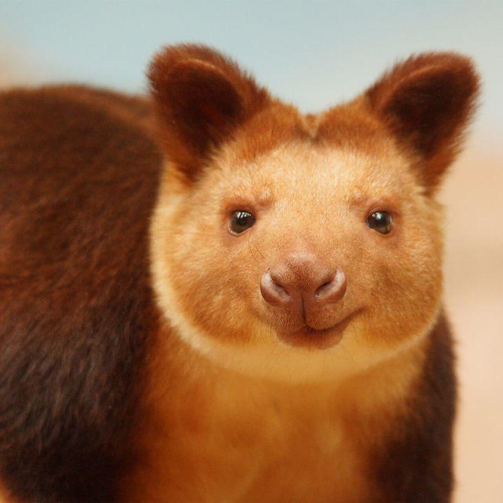 Dendrolague de Goodfellow - Animaux extraordinaires du ZooParc
