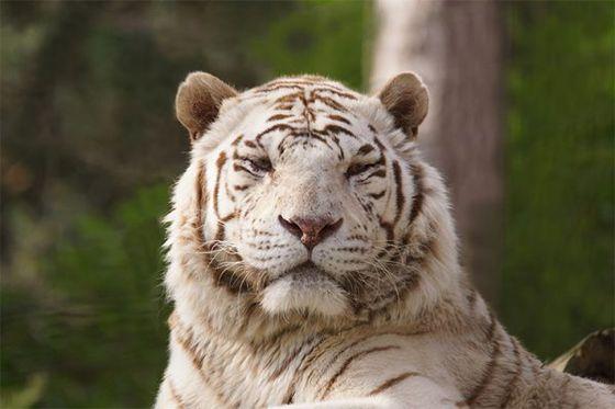 Tristesse à Beauval : Sherkan, notre tigre blanc, s'en est allé…