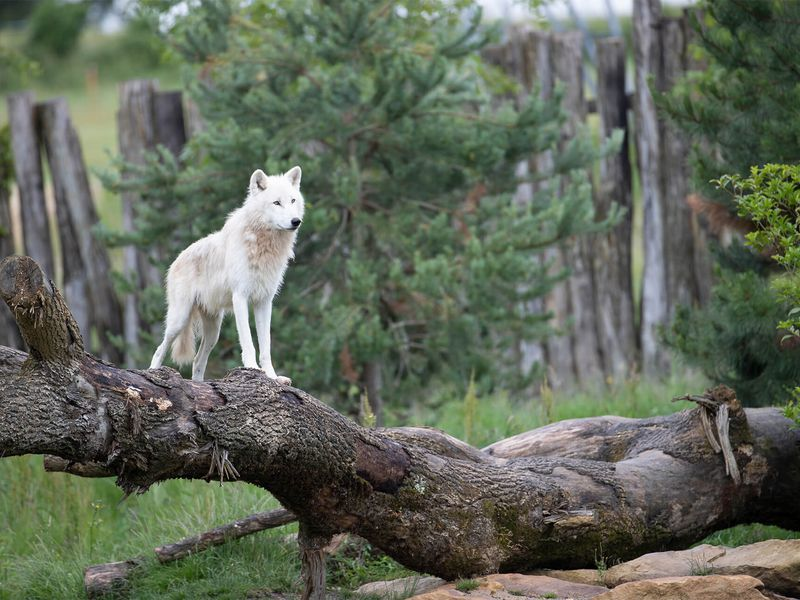 Loup arctique, le plus gros des loups - Les animaux du Territoire Nord-Américain - ZooParc de Beauval