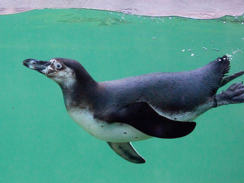 Manchot de Humboldt - Les animaux de L'Allée Historique - ZooParc de Beauval