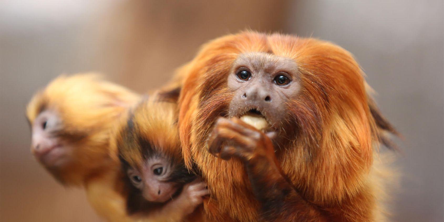 Tamarin lion doré qui mange - Les animaux du Dôme Équatorial - ZooParc de Beauval