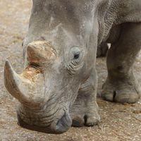Rhinocéros blanc - Animaux extraordinaires du ZooParc