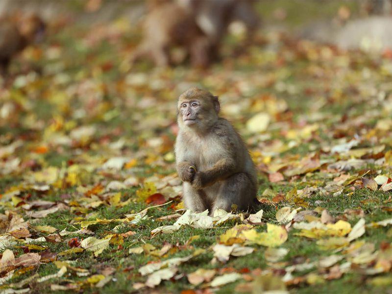 Magot assis - Les animaux des Allées des Petits Singes - ZooParc de Beauval