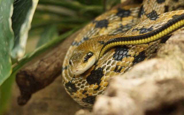 Serpent ratier de Taiwan - L'histoire du ZooParc