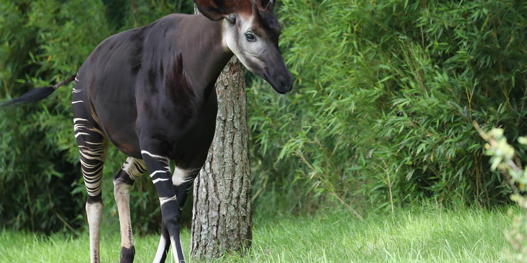 Okapi - Les animaux de La Plaine des Éléphants - ZooParc de Beauval